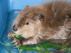 """Kesha"" — Beaver"